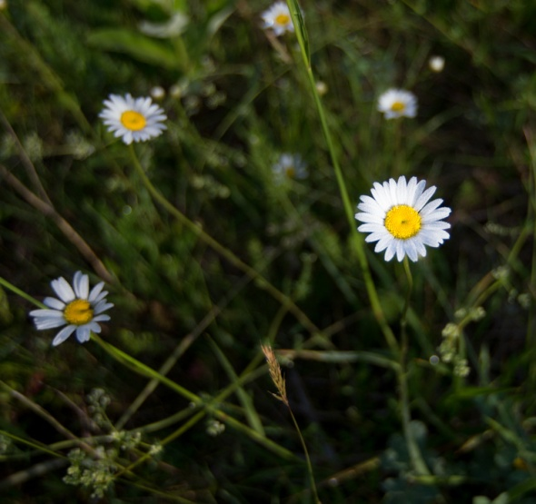A single daisy in focus among others down by the Huntington River.