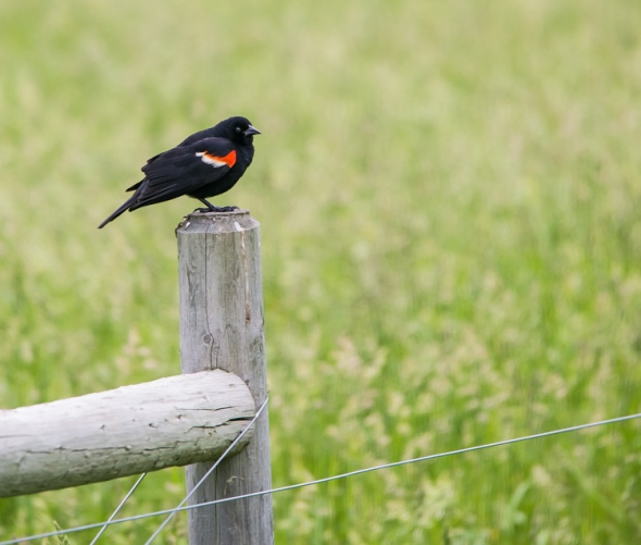 A redwing blackbird scans the field from his perch along Camel's Hump Road.