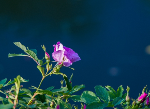 A rugosa rose blooms next to the pond.