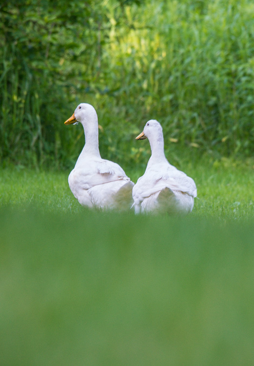 Our new ducks, Rupert & Rita, out for a stroll around the pond.
