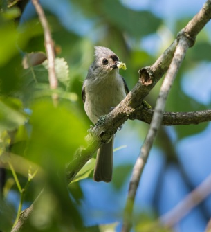 Breakfast is served! A tufted titmouse finds a tasty morsel in one of the pond-side willows.
