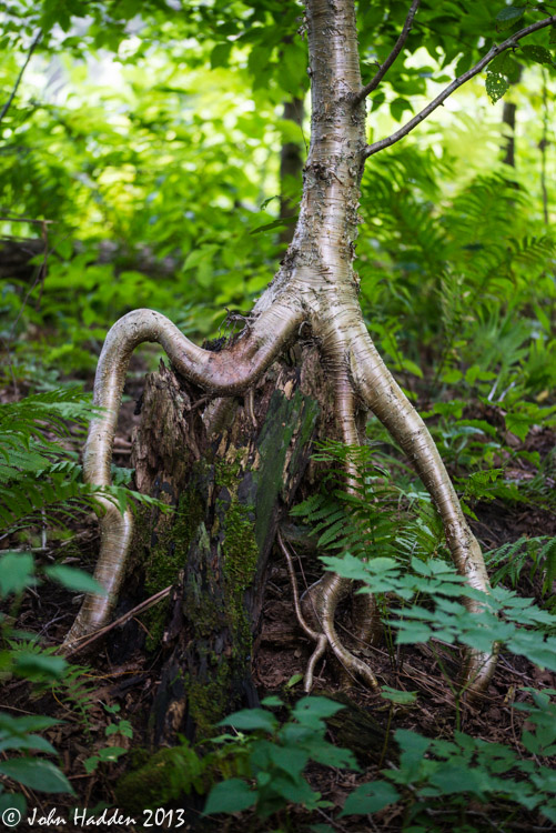 A silver birch grows atop a rotting hemlock stump.