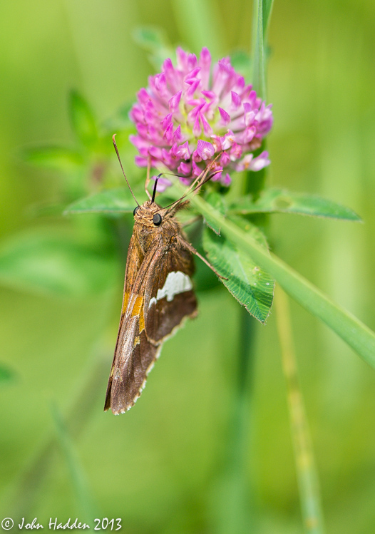 A skipper sips from a red clover blossom.