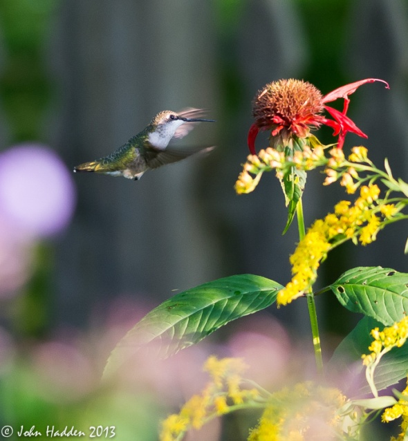 A ruby-throated hummingbird gets the last of an aging bee balm's nectar.