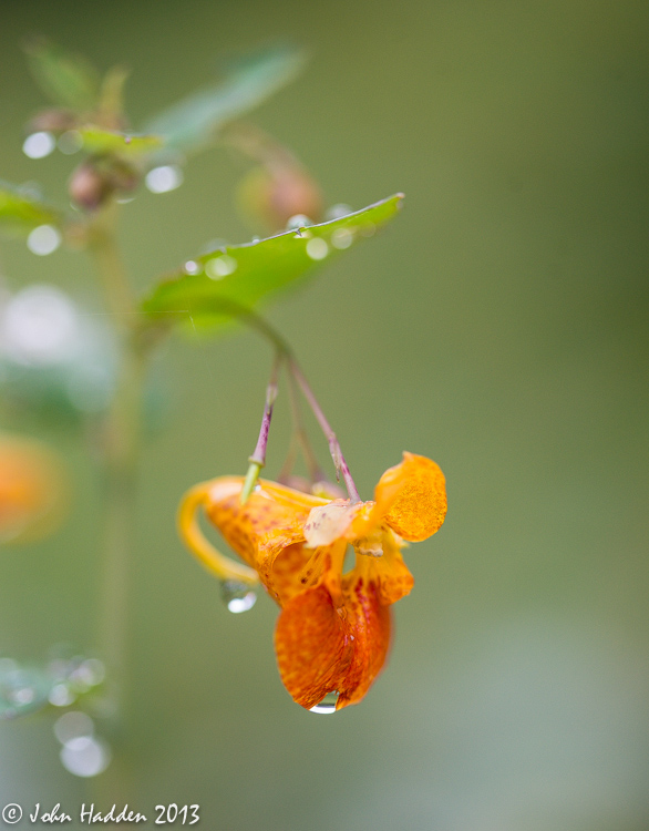 Raindrops cling to a jewel weed blossom out by the pond