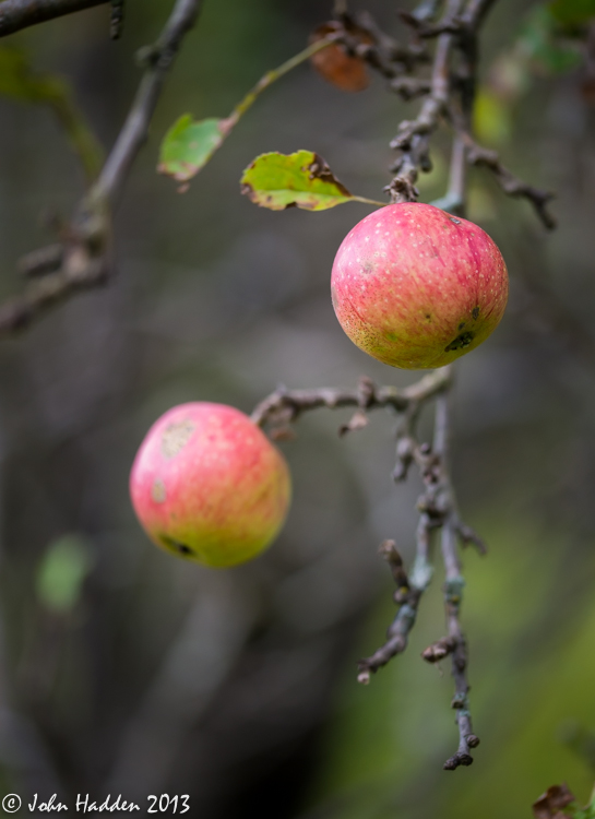 Wild apples ripening in our front field