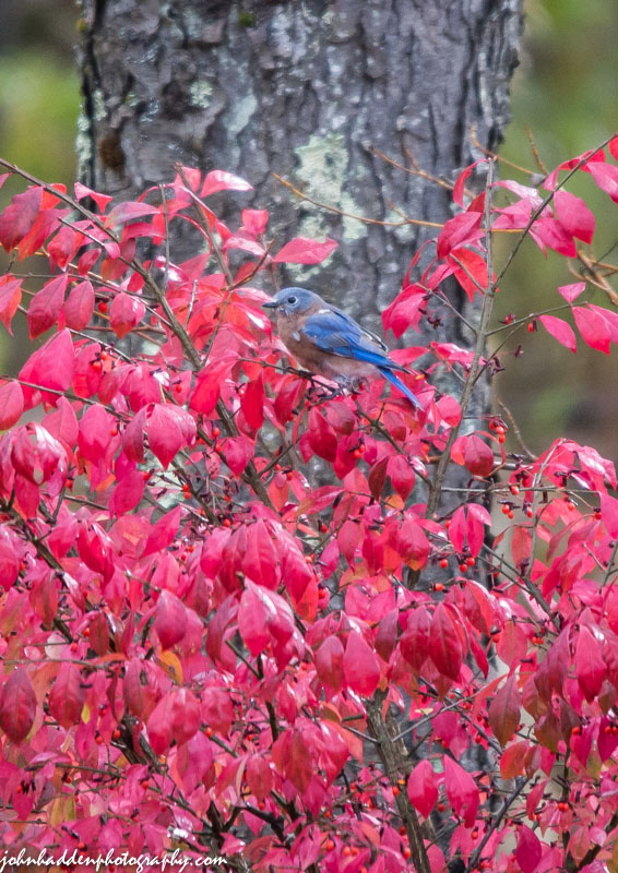 A bluebird feeds on burning bush berries.