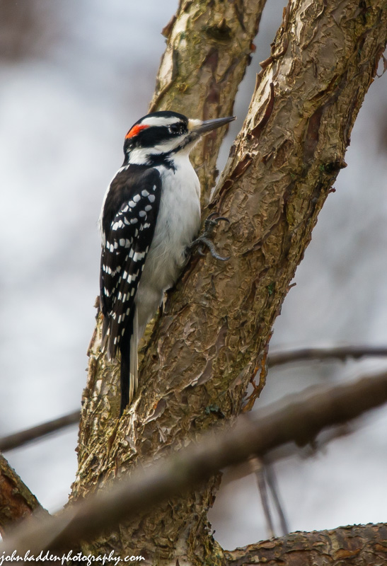 A hairy woodpecker visits the buckeye tree next to the back deck.