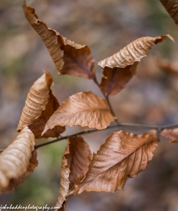 Brown and curling beech leaves