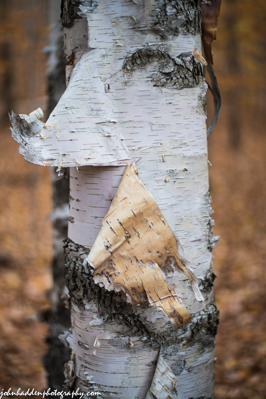 Birch bark sloughs from a tree in the back woods