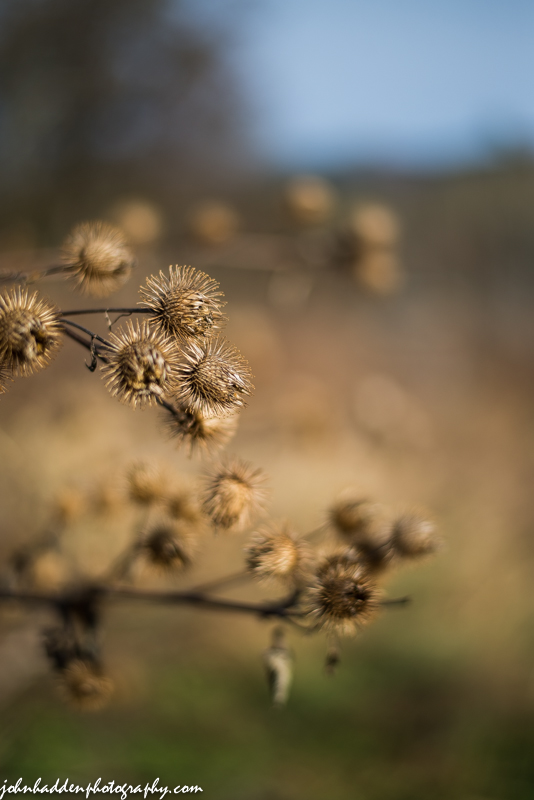 Burrs drying in a neighbor's field.