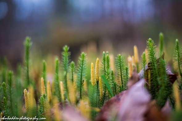 A forest of club moss in the woods