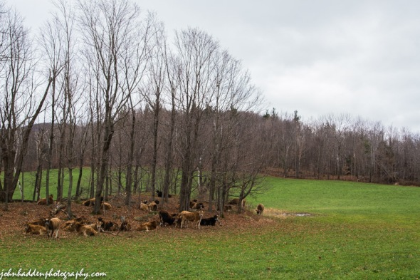 Heifers resting at the top of Taft Hill