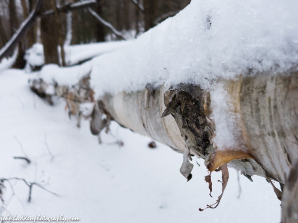 A birch log covered with snow and ice along Fargo Brook