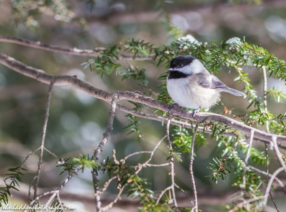 A black-capped chickadee waits its turn in the hemlock by our feeder