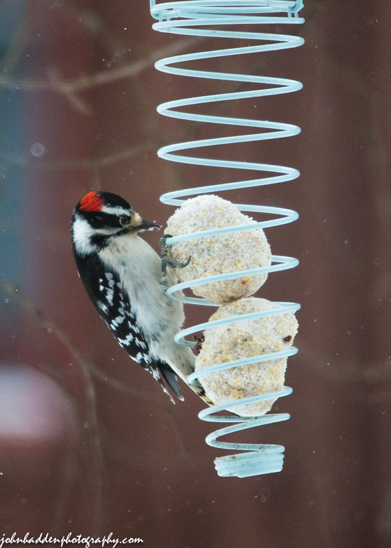 A downy woodpecker at one of our suet feeders