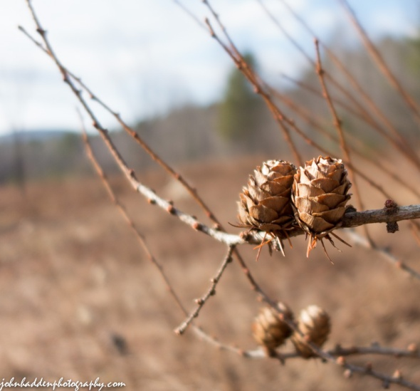 Larch cones out in our front field
