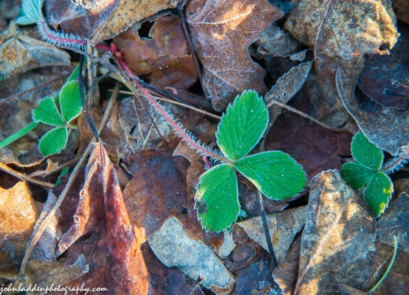 Wild strawberry with a touch of frost down along Fargo Brook