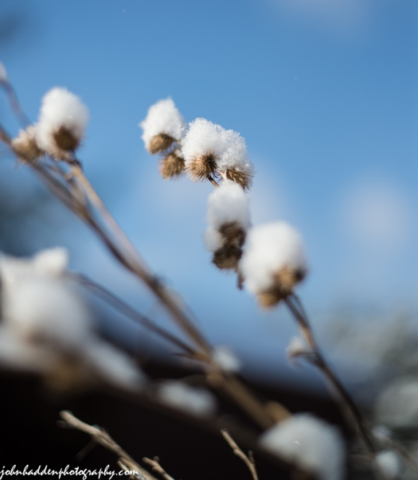 Snow-tufted burrs against the blue sky