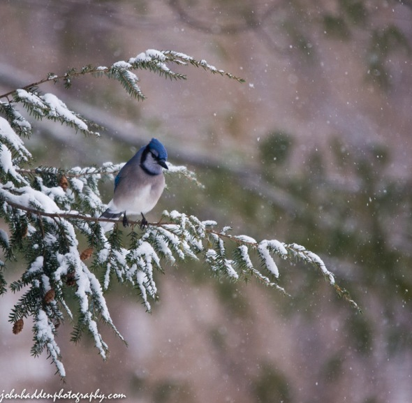 A bluejay in the hemlock above our feeder