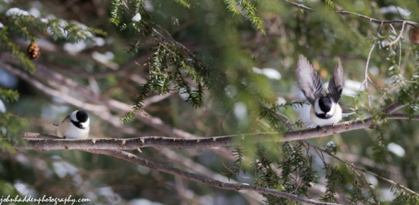A pair of chickadees in the hemlock tree above our feeder
