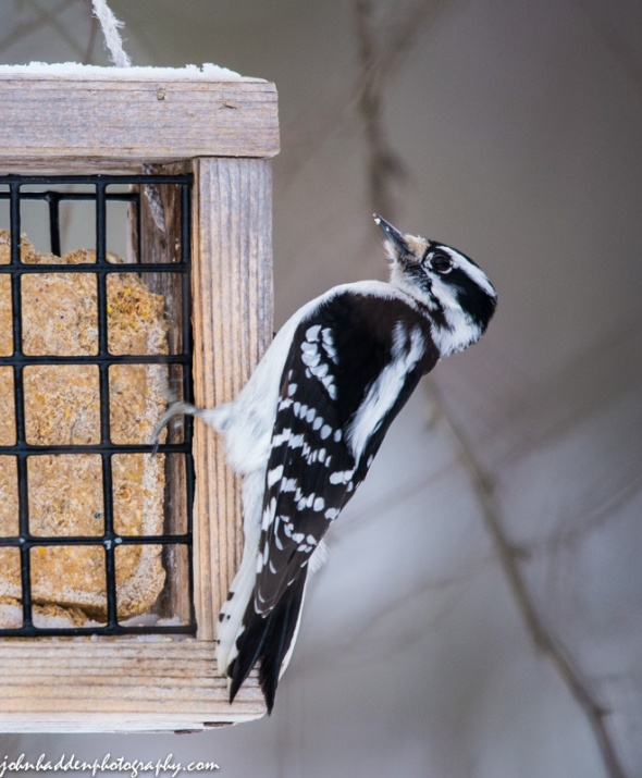 A female downy woodpecker visits one of our suet feeders