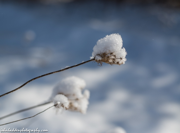 Queen Anne's Lace with a mantle of fresh snow