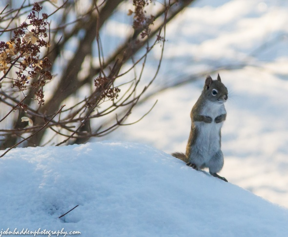 A red squirrel surveys the back yard