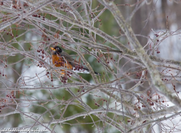 A robin visits our ash tree in the front yard