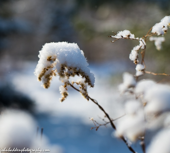 Fluffy new snow on goldenrod