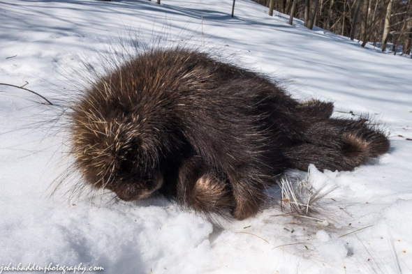 A dead porcupine seems to sleep in the snow...