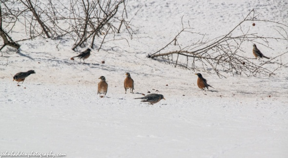 A group of robins feed on crab apples