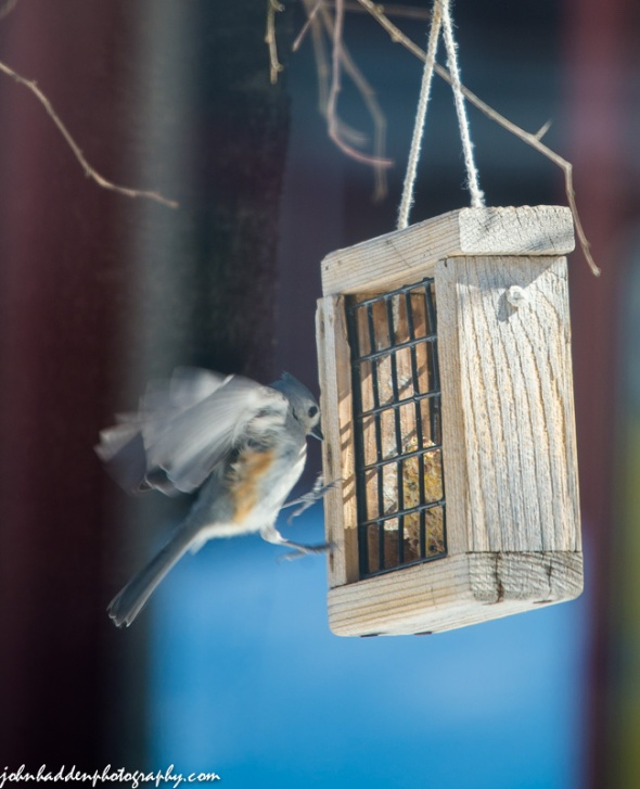A tufted titmouse comes in for a landing at one of our suet feeders