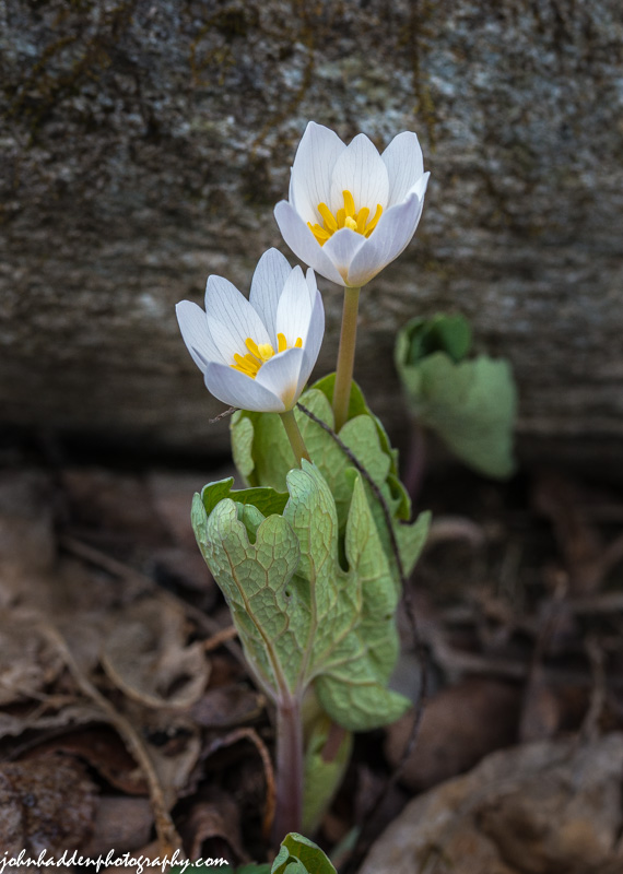 Bloodroot in bloom down by Fargo Brook