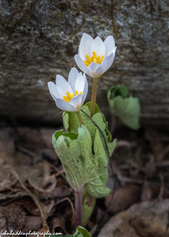 Bloodroot in bloom down by Fargo Brook