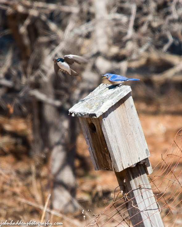 A tree swallow buzzes a male bluebird in our front field