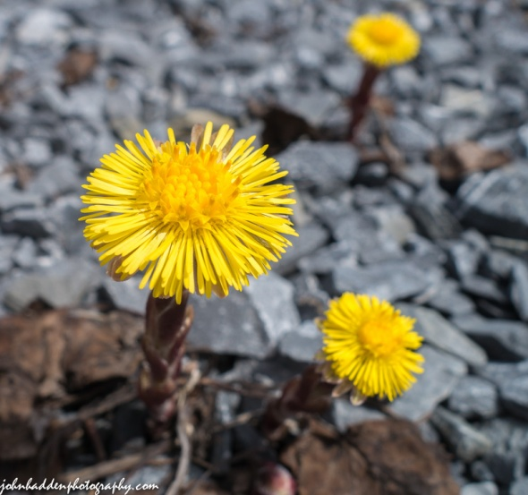 Coltsfoot blooming!