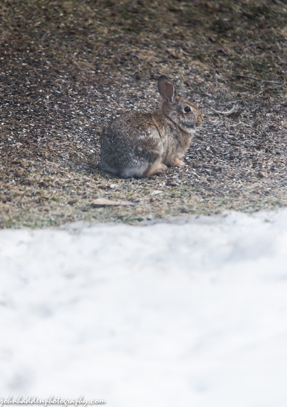 One of a pair of rabbits who have been frequenting our bird feeder of late
