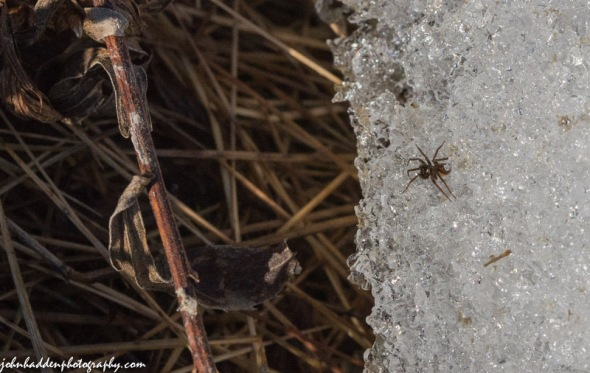 A tiny spider on spring corn snow
