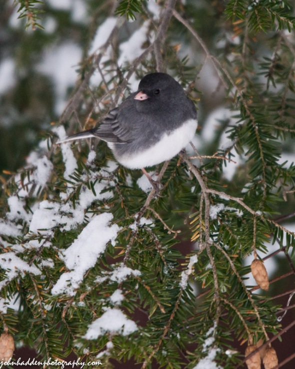 A slate-colored junco perches in the hemlock near the feeder.