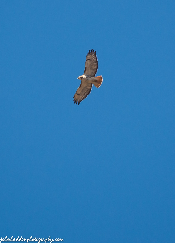 A redtail hawk wheels above our house