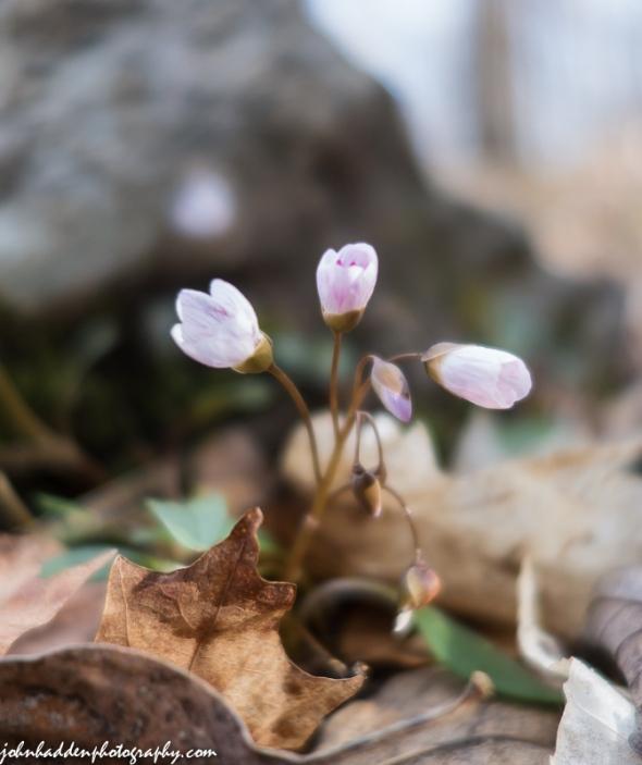 Spring beauties blooming in the woods!