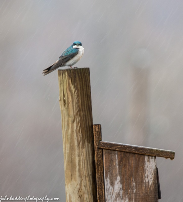 A tree swallow in the rain