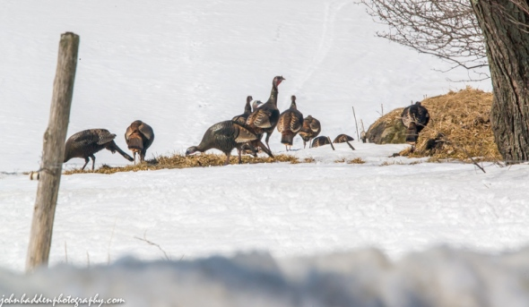 A flock of turkeys heads over the rise on Taft Hill