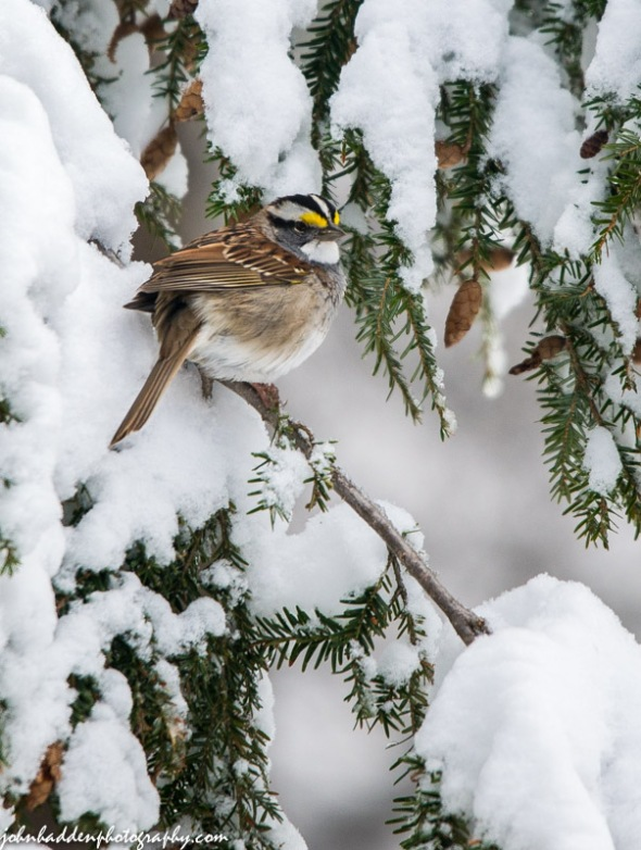 A white throated sparrow in the hemlock by the feeder yesterday