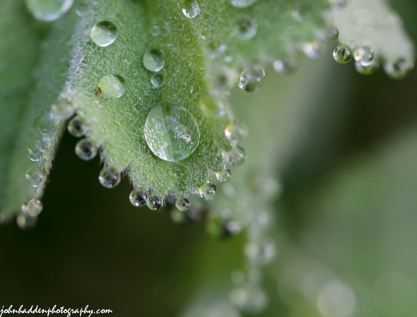 Raindrops cling to Lady's Mantle leaves