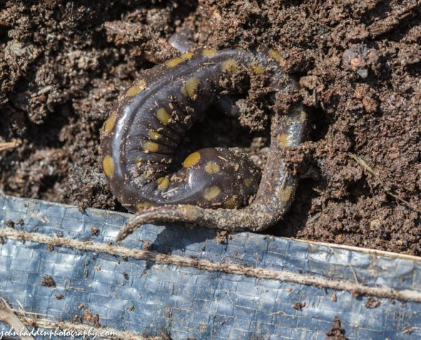 A spotted salamander in our compost pile