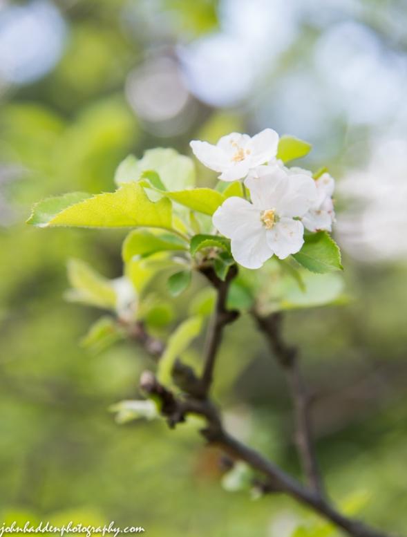 Apple blossoms along Taft Road
