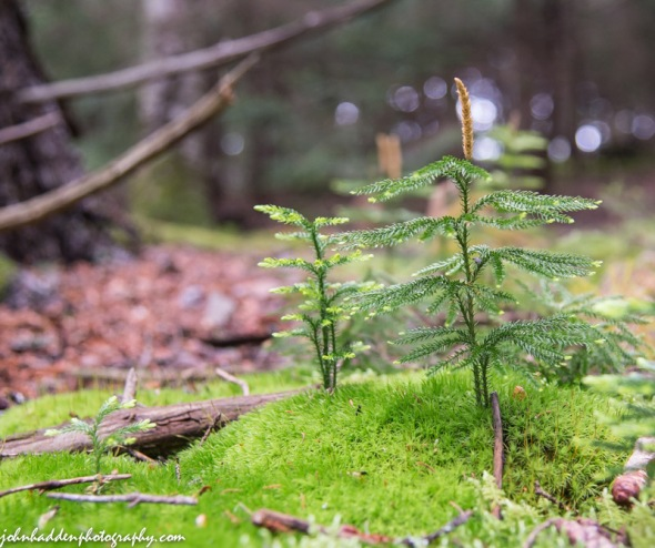 Club moss creates a mini landscape at Allis State Park