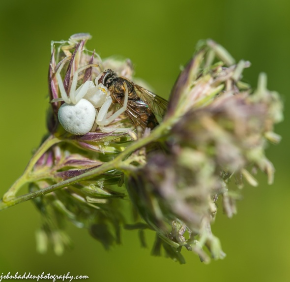 A crab spider feeds on a fly